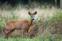 Buck deer in the forest by Janusz Pienkowski on 500px