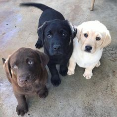 Mind Blowing Facts About Labrador Retrievers And Ideas. Amazing Facts About Labrador Retrievers And Ideas. Cute Puppies, Cute Dogs, Dogs And Puppies, Doggies, Black Lab Puppies, Sweet Dogs, Baby Puppies, Baby Dogs, Cute Baby Animals