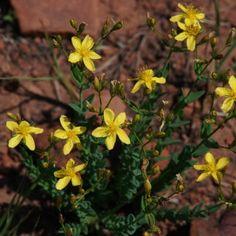 Hypericum aethiopicum