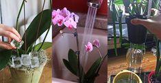 Orkidenin çiçek açması için ne yapmalı, orkide bakımında püf noktalar nelerdir içeriğimizden tüm detayları ile bulabilirsiniz. Duruşu ve görünüşü oldukça beğenilen orkide çiçeği hassas çiçekler arasında yer almaktadır.Orkidenin orjinali beyaz renklidir. Fakat günümüzde görsellik açısından sıkça renk boyaları ile farklı renklerde de yetiştirilmektedir. Orkidenizin çiçek açması ve her yıl çiçeklenmesi için doğru bakmanız bitkiyi küstürmemeniz