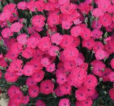 Plants for Weed Control Dianthus Paint the Town Magenta
