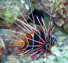 The lionfish is one of the most venomous fish on the ocean floor. Lionfish have venomous dorsal spines that are used purely for defense.