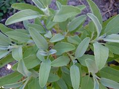 SAGE - Plant sage in full sun; sage will tolerate partial shade but the flavor of leaves will be diminished. Grow sage in well-drained soil. Sandy loam is best but sage will grow in nearly poor soil as well.   WATER regularly until established. keep on the DRY side afterwards
