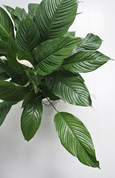clean air with the Peace Lily - April and MayApril and May