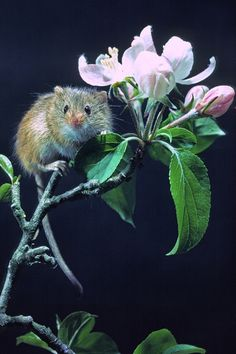 Harvest Mouse on apple blossom. Phil Mclean