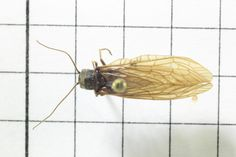 Alderfly, Order Neuroptera: Suborder Megaloptera: Family Sialidae (top) J. Cauthorn