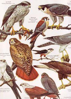 Vintage Kids' Books My Kid Loves: The Giant Golden Book of Birds Types Of Animals, Animals Of The World, Bird Identification, Rare Birds, Animal Species, Bird Pictures, Watercolor Animals, Birds Of Prey, Wildlife Art