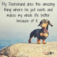 My dachshund does this amazing thing where she just exists and makes my life better. Dachshund Funny, Mini Dachshund, Dachshund Puppies, Daschund, Dachshund Quotes, Piebald Dachshund, Dachshund Rescue, Chihuahua Dogs, Dog Quotes