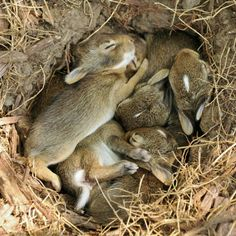 Amazes me how Rabbits can have a big litter and the young sleep stacked up like this. They're on top of quite a few. But, if the parent didn't make it small, they couldn't keep warm, while they're off eating. Their holes aren't very deep, except the Jackrabbit's seem to be.