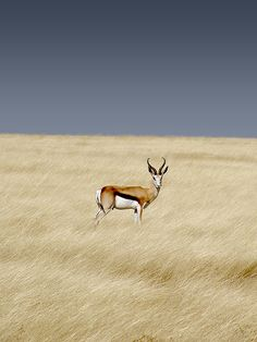 Africa | Springbok photographed in  Etosha National Park, Namibia |  © Damien du Toit, coda, via Flickr