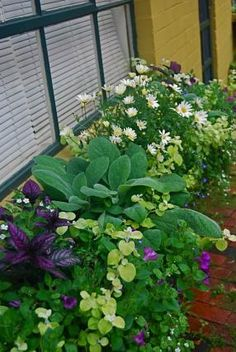Window Box filled w lamb's ears, marguerite daisy, limelight licorice plant, supertunia royal magenta petunia, persian shield bacopa, lagina compact blue with eye lobelia...