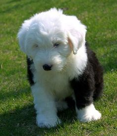 Old English Sheepdog puppy | The Old English Sheepdog (OES) is a large breed of dog which was developed in England