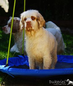Clumber Spaniel - History ✓, Character ✓, Way of working & natural abilities ✓, Training ✓ Clumber Spaniel, Spaniels, Play, History, Dogs, Fun, Animals, Knowledge, Historia