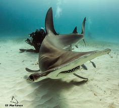 Shark Diver Magazine - Bimini has become THE place to go for a chance to dive with these iconic sharks.  http://www.sharkdivermag.com/tiger-hammerheads.html