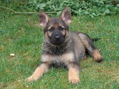 Shendor my German Shepherd babydog......