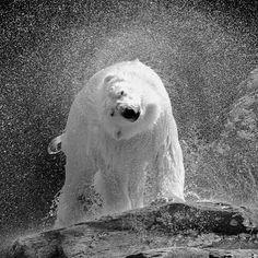 #POLARBEAR by #NicolasDeVaulx #Photocircle #fineartphotography from #Canada #NorthAmerica #white #bear outside #water #bw #blackandwhite #monochrome #photoart #animals #animalphotography #wallart #artprint  #Closethecircle - if you buy this photo Nicolas De Vaulx and Photocircle #donate 9% to provide communities in #Bolivia with better social infrastructure
