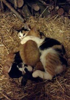 Кошка родила шестерых котят прошлой ночью. В то же время, она приняла еще 10-недельного котенка, который нуждался в материнской любви.