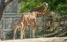 중국주식, qre22.com , 중국, 태국, 마카오, 카지노, 소더비 경매하우스, 바카라사이트,카지노사이트,룰렛게임,릴게임,온라인카지노,인생역전,카지가 Giraffe, Felt Giraffe, Giraffes