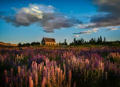 The Lupins at Lake Tekapo from #treyratcliff at www.StuckInCustoms.com - all images Creative Commons Noncommercial.
