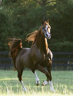 ML Mostly Padron (US) 2001 Chestnut Russian-related stallion. Padrons Psyche {Padron x Kilika by Tamerlan} x HS Mostly {Padron x Mossi by Nuri Schalan} Beautiful Arabian Horses, Most Beautiful Animals, Pretty Horses, Horse Love, Arabian Stallions, Arabian Beauty, Mustang, Chestnut Horse, Horse World