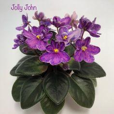 Jolly John 11/24/2014 (H. Pittman) Single-semidouble dark pink pansy/purple fantasy. Crown variegated dark green, gold and bronze, plain. Semiminiature (TX Hyb) #JollyJohn #PittmanViolets #JollyViolets #SemiminiatureAfricanViolet #SemiViolet #SemiMiniViolet #AVSA #AfricanViolet #IndoorPlant #Houseplant #saintpaulia #senpolia #AfricanVioletLovers #fialka #AfricanVioletSocietyOfAmerica
