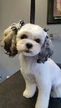 25 Best Maltese Grooming Hairstyles Images Cute Dogs Little Puppies Maltese