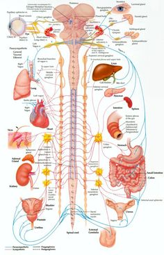 The Nervous System in detail