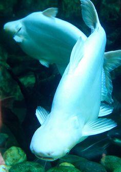 Albino Shark Catfish <3