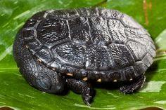 baby Reimann's snake-necked turtle, sleeping