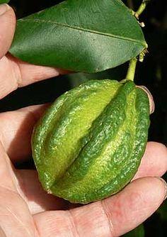 Immature fruit of Limone Bizzarria