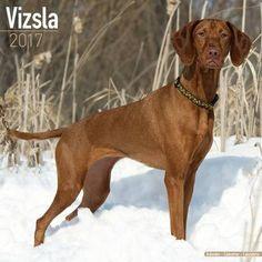 Avonside Hunde-Kalender 2017Avonside Hunde Wandkalender 2017: Vizsla
