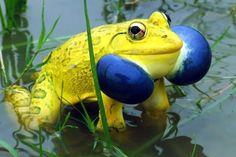 8 Indian Bullfrog