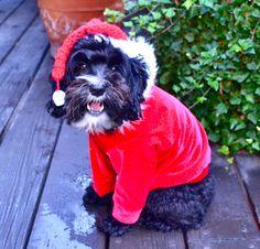 Christmas Santa schnoodle dog