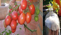 Vypěstujte si vlastní BIO rajčata: Potřebujete jen plastovou flašku a věci, které určitě už máte doma!