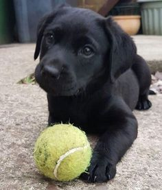 Cute Black labrador puppy playing with a tennis ball. Fall in Labrador Love with Pictures of Lab Puppies! Black, Chocolate& The post Fall in Labrador Love with Pictures of Lab Puppies! Black, Chocolate and Yellow Labs appeared first on Keenan Sheepdogs. Black Lab Puppies, Cute Dogs And Puppies, Black Puppy, Corgi Puppies, Puppy Husky, Doggies, Mastiff Puppies, Cutest Dogs, Puppies Stuff