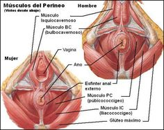 Improving sexual health with exercise - the female pelvic floor system Muscle Anatomy, Body Anatomy, Cancer Prevention Diet, Pc Muscle, Pelvic Floor Exercises, Human Anatomy And Physiology, Anatomy Poses, Nursing Notes, Reproductive System
