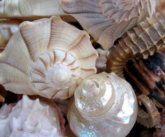 shells, so beautifully designed to be the house of crabs Carbonate De Calcium, Shell Art, Vintage Roses, Sea Creatures, Coastal Decor, Amazing Nature, Starfish, Sea Glass, Still Life