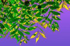 Interweave Of Leaves