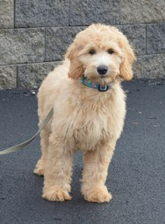 Goldendoodle Association of North America All About Goldendoodle Colors and Coats Mini Goldendoodle, Goldendoodle Haircuts, Goldendoodle Grooming, Dog Haircuts, Chocolate Goldendoodle, Standard Goldendoodle, Cute Dogs And Puppies, Pet Dogs, Doggies