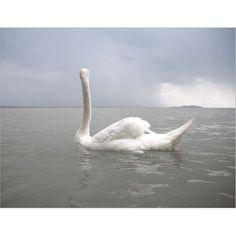 Lake Balaton by Greta Anderson White Swan, Animal Photography, Artist, Image, Nov 21, Birds, Auckland, Serenity, Dawn