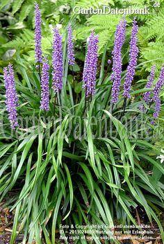Traubenlilie, Lilientraube, Glöckchentraube, Liliengras Liriope muscari Liriope muscari (Traubenlilie, Lilientraube) Habitus blühend. Kleine, kugelige, fliederfarbene Blüte...