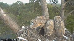 "Savannah Owls/Landings Bird: ""18:42 4/11/16 Mom shows up with another Anhinga for the owlets."