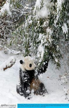 Tai Shan panda bear in washington