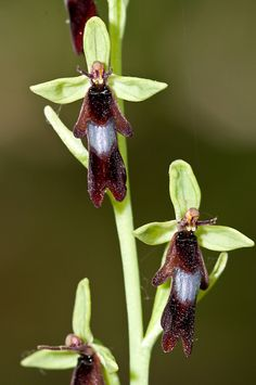 The Fly Orchid (Ophrys insectifera) an orchid of European woodlands, hedges and even dunes is one of the most convincing of insect mimics with shiny mirror and 'antennae'