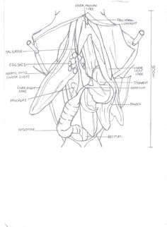 Worksheets Shark Dissection Worksheet sharks galleries and dogfish shark on pinterest dissection of a body cavity apologia swimming creatures lesson 7
