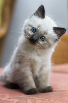 by lily - Siamese Kittens - Ideas of Siamese Kittens - Cute who me? by lily The post Cute who me? by lily appeared first on Cat Gig. Siamese Kittens, Cute Cats And Kittens, Baby Cats, I Love Cats, Kittens Cutest, Ragdoll Cats, Pretty Cats, Beautiful Cats, Animals Beautiful