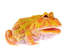 Scientist Finds Frog Inside a Frog During CT Scan | Pac Man Frog Eats Other Frog | petMD