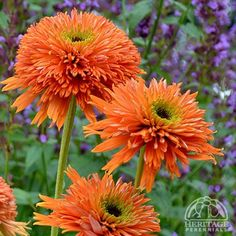 "Echinacea 'Colorburst Orange':   Perennial, Zone 4-9, full sun, 12-14"" H, blooms mid summer to early fall."