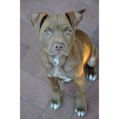 #pitbull love Puppy Dog Puppies Hound Dogs American Pit Bull Terrier... ❤ liked on Polyvore featuring animals