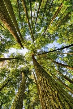 Towering old-growth stands in Cathedral Pines DNR lands in northern Wisconsin, one of the finest old growth pine-hemlock stands on the Chequamegon-Nicolet National Forest. Photo: Elvis Kennedy